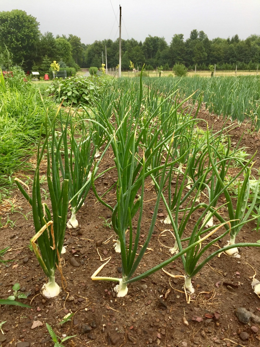 Verger Champetre orchard pick your own garlic