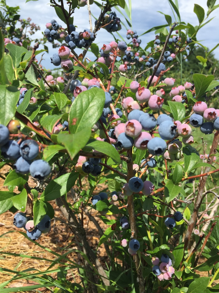 Potager Gauvin pick your own blueberries