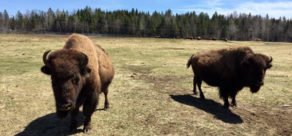 Terre des bisons trail - bison farm